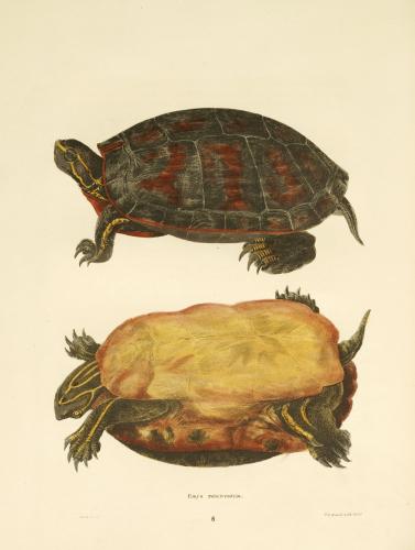 Turtles by John Edwards Holbrook