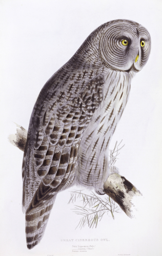 Great Cinereous Owl. The Birds Of Great Britain by John Gould