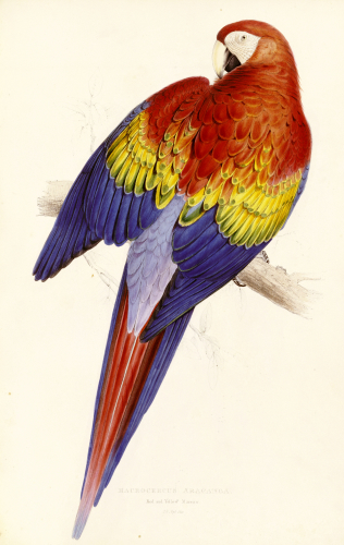 Red And Yellow Maccaw. Illustration Of The Family Of Psittacidae Or Parrots by Edward Lear