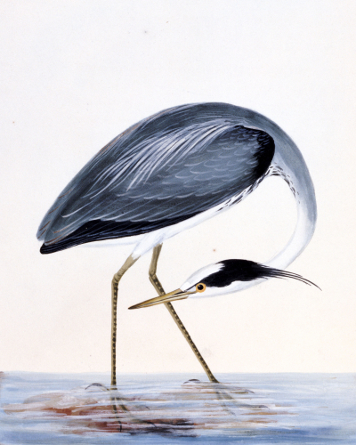 A Heron. From 'The Birds Of Great Britain And Their Eggs' by William Lewin