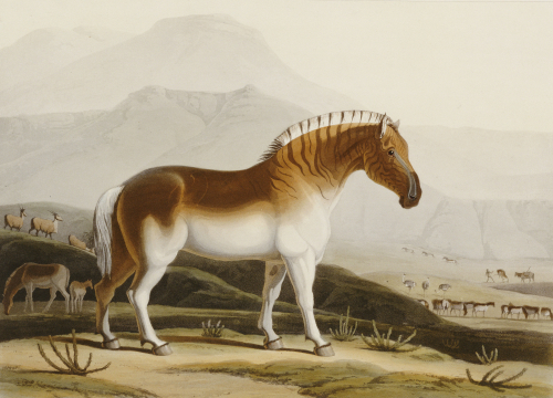 The Quakah, Aquatint from 'African Scenery and Animals' by Samuel Daniell