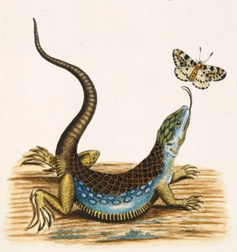 Lizard Chasing A Butterfly, 1772 by Johann Michael Seligman