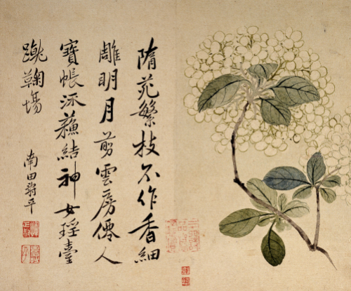 Hydrangeas. From An Album Of Ten Leaves by Yun Shou Ping