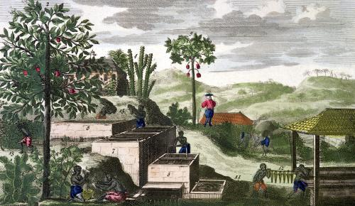 Indigo Plant illustration from Histoire des Antilles by French School