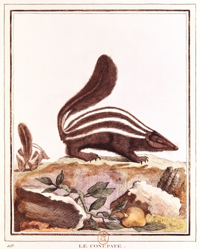 Skunk from 'Histoire Naturelle' by Georges Louis Leclerc Buffon by French School
