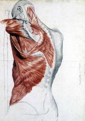Human Anatomy; Muscles of the Torso and Shoulder by Pierre Jean David d'Angers