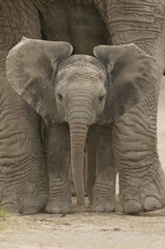 Big Ears (Baby Elephant) by Maxi