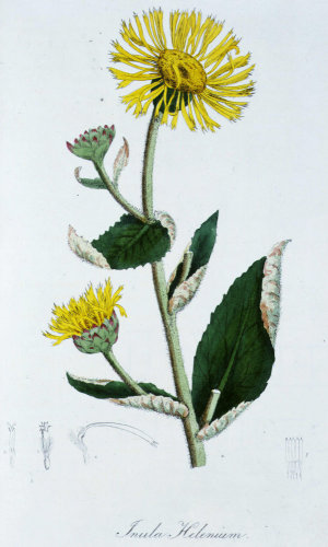 Inula helenium or Elecampane, from Flora Medica, 1829 by George Spratt