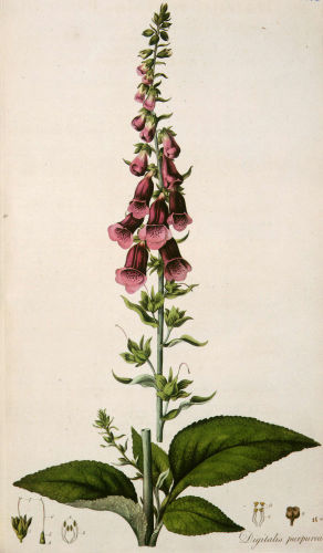 Digitalis purpurea or Foxglove, 1817 by William Curtis