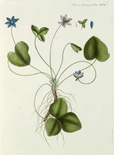 Anenome hepatica by Georg Christian Oeder