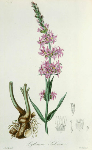 Lythrum salicaria by John Stephenson