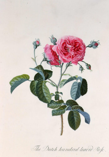 Rosa centifolia or Cabbage Rose by Georg Dionysus Ehret