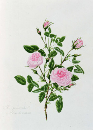 Rosa Centifolia Pomponia or Rose de Meaux by Mary Lawrance