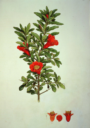 Punica Granata or Pomegranate, 1825 by John Sibthorp