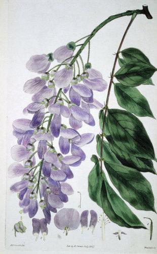 Wisteria Sinensis, from The British Flower Garden, 1827 by Robert Sweet