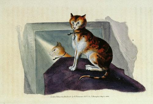 Domestic cat by Edward Donovan
