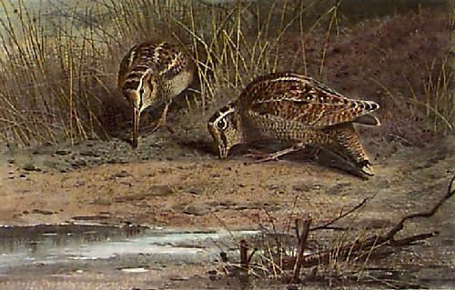 Hungry Woodcock (Restrike Etching) by Archibald Thorburn