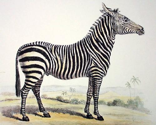 Zebra (Restrike Etching) by Anonymous