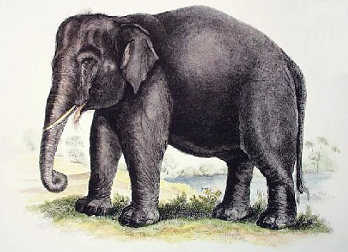 Elephant (Restrike Etching) by Anonymous