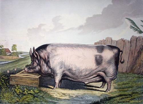 British Boar (large) (Restrike Etching) by Sir Edwin Henry Landseer