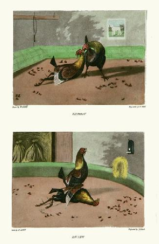 Throat & Death (Cock fighting) (Restrike Etching) by Henry Alken