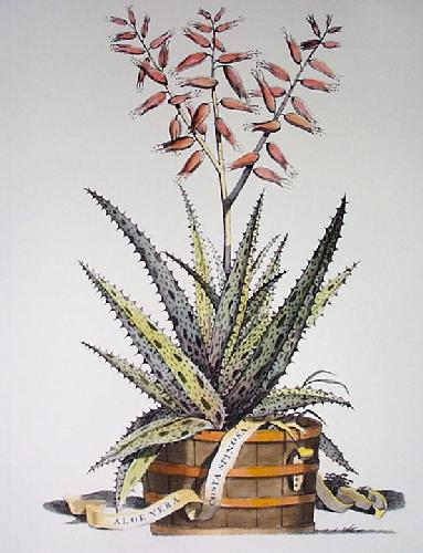 Aloe Vera - Costa Spinosa (Restrike Etching) by Anonymous