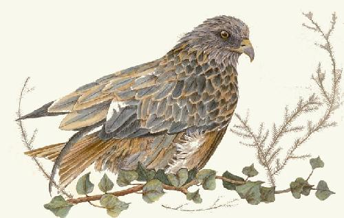 Red Kite (Restrike Etching) by Sandra Fagan