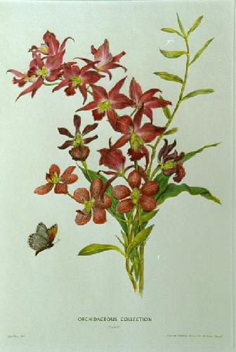 Orchidaceous Coll. Pl. I (Restrike Etching) by Avril Turner