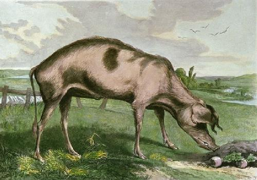 French Hog (Restrike Etching) by Sir Edwin Henry Landseer