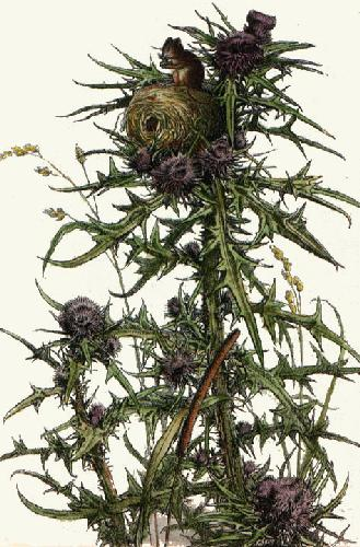 Harvest Mouse (Restrike Etching) by Anonymous