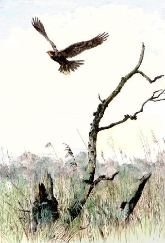 Marsh Harrier (Restrike Etching) by Winifred Austen