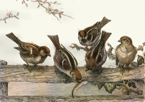 Tree Sparrows (Restrike Etching) by Winifred Austen