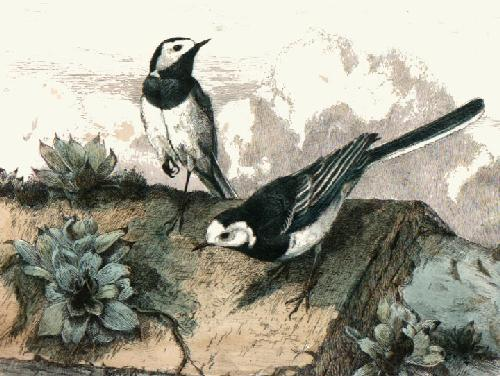 Pied Wagtails (Restrike Etching) by Winifred Austen
