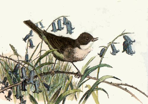White Throat (Restrike Etching) by Winifred Austen