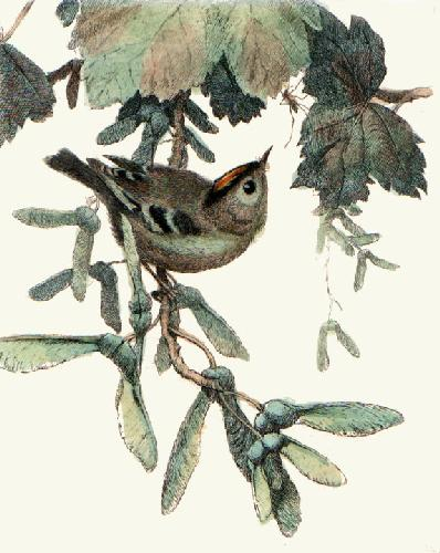 Gold Crest (Restrike Etching) by Winifred Austen