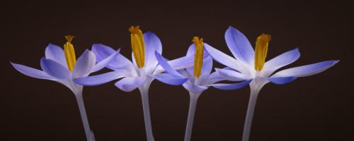 Four Crocus flowers close-up by Assaf Frank