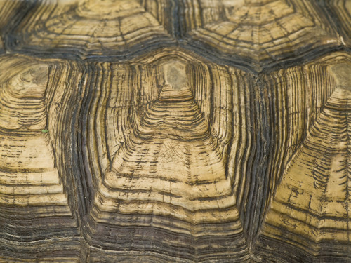 Plowshare tortoise shell, close-up by Assaf Frank