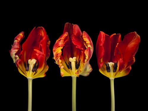 Three rococ tulip flowers by Assaf Frank