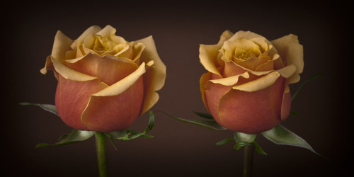Close-up of two roses by Assaf Frank