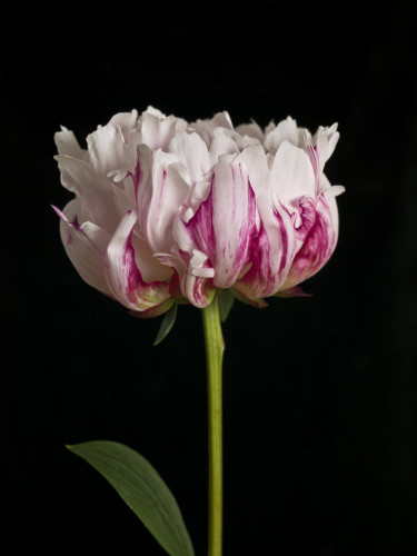 White pink Peony flower, close-up by Assaf Frank