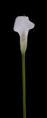 Single calla lily flower by Assaf Frank