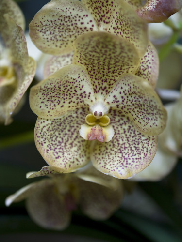 Malaysia, Close-up of Orchid flowers by Assaf Frank