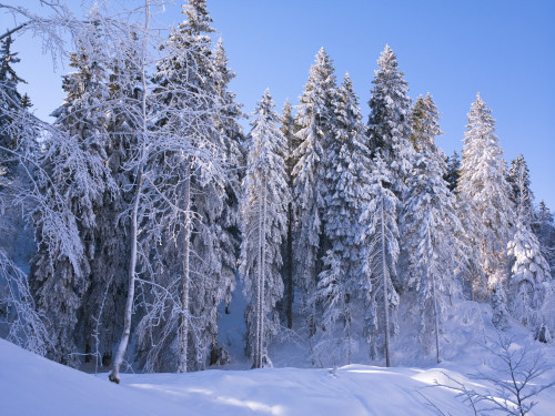 Pine trees covered in snow by Assaf Frank