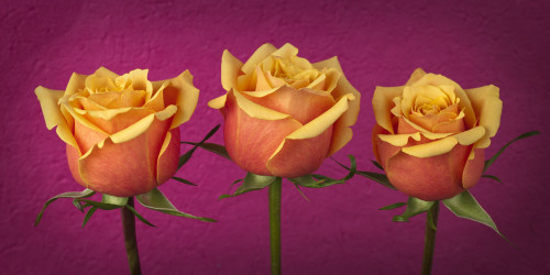 Close-up of three roses by Assaf Frank