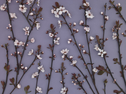 Twig design of Ornamental Cherry plant, studio shot by Assaf Frank