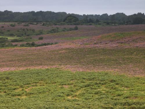 New forest heather landscape by Assaf Frank