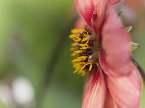 Dahlia flower, close-up by Assaf Frank