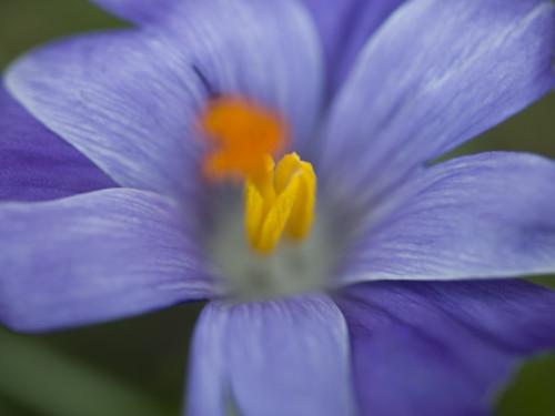 Close-up of purple crocus by Assaf Frank
