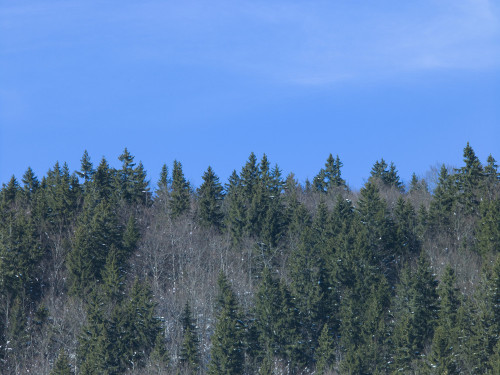 Forest tree tops against blue skies by Assaf Frank