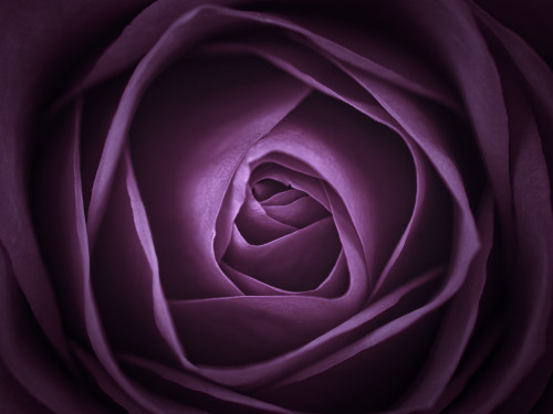 Purple Rose Close-up by Assaf Frank